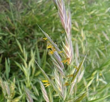 この草はイヌムギだと思うのだけれど、自信がない この草はイヌムギだと思うのだけれど、自信がない